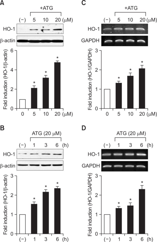 Effect of arctigenin on HO-1 expression in rat primary astrocytes. Cells were treated with various concentration of arctigenin for 6 h (A, C) or incubated with 20 μM arctigenin for the indicated time points (B, D). The HO-1 protein and mRNA levels were determined by western blot and RT-PCR analyses. The data are representative of three independent experiments. Quantification data are shown at the bottom of each panel. Values are the mean ± S.E.M. of three independent experiments. *p<0.05, compared with the control group.