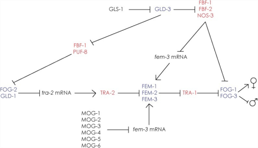 Genetic regulation of germline sex determination.The pathway consists of a cascade of regulatory interactions driving sexual fate. Essentially, fem-1, -2 and -3 together with fog-1 and fog-3 promote spermatogenesis. To allow hermaphrodite animals to switch to oocyte production at the late L4 stage, tra-2 is repressed by the action of FOG-2 and GLD-1. fem-3 is repressed at the level of mRNA by multiple factors. Thus, regulation of the balance of TRA-2 and FEM-3 levels allows the timely transition from sperm to oocyte production, in order to generate fully fertile hermaphrodites. Factors that promote male and female fates are highlighted in blue and red, respectively. Adapted from Kimble and Crittenden [14] and Rybarska et al.[41].