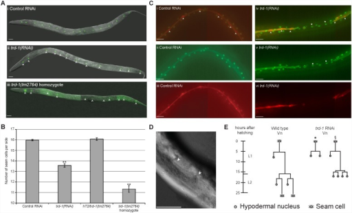 TRD-1 regulates cell fate choice in seam lineages.(A) (i) Wild type late L4 animal carrying the integrated seam cell marker, scm::gfp (strain, JR667), has 16 seam cells per side. (ii) trd-1(RNAi) animals have a reduction in the number of seam cells. Seam cells are indicated by white arrowheads. (iii) trd-1(tm2764) homozygous mutants (strain, AW912) have a significant reduction in seam cell number. Scale bar, 20 µm. Anterior is to the left and dorsal up in all images. (B) Graph showing average seam cell number. Wild type animals were exposed to empty RNAi feeding vector as a control. n>100 for both control and trd-1(RNAi) animals. Heterozygotes of genotype hT2/trd-1(tm2764) have normal numbers of seam cells (n = 61), however, trd-1(tm2764) homozygotes have a significant reduction in seam cell number to 11.3 (n = 45). Error bars represent s.e.m. and ** indicate the 2-sample t-test where each strain was compared to the wild type, where p<0.01. (C) (i–iii) L4 Animal (strain, AW1015) carrying an integrated seam cell nuclear marker (scm::tdTomato) along with the pleckstrin homology domain PH::gfp outlining seam cells and a hyp7 nuclear marker dpy-7p::yfp. White arrowheads indicate seam cell nuclei. (iv–vi) trd-1(RNAi) animals carrying the same set of markers. There are obvious gaps in the seam cells, where the seam cell fate has been transformed to hypodermal. Asterisks indicate nuclei that inappropriately express dpy-7::yfp instead of scm::tdTomato. Note that these cells have lost their PH::gfp outline, also indicative of transformation towards the hypodermal fate. ii and v are images of the GFP/YFP channel. iii and vi is the red channel to show the tdTomato in the same animal. i and iv are merged imaged of both GFP/YFP and tdTomato channels. All scale bar, 20 µm. Anterior is to the left and dorsal up in all images. (D) Representative image of a trd-1(RNAi) animal displaying shallow or absent alae. Scale bar, 40 µm (E) Representative lineage trace showing the Vn lineage from hatching to late L2. In wild type animals at the L1 stage, Vn divides asymmetrically with the anterior daughter (Vn.a) adopting the hypodermal fate and the posterior daughter (Vn.p) retaining the proliferative fate. Vn.p will divide symmetrically during early L2 followed closely by a further asymmetric division. Vn.pap and Vn.ppp retain the ability to self-renew and will divide again at L3 and L4. We lineaged 7 trd-1(RNAi) animals, of which 5 had symmetrized the L1 asymmetric division of V2 (asterisk). In animals that divided in the wild type pattern at the L1 division (2 animals), the L2 asymmetric divisions were again symmetrized towards the hypodermal fate (§). Similar cell fate transformation events were observed in the other V lineages, albeit at lower frequency.