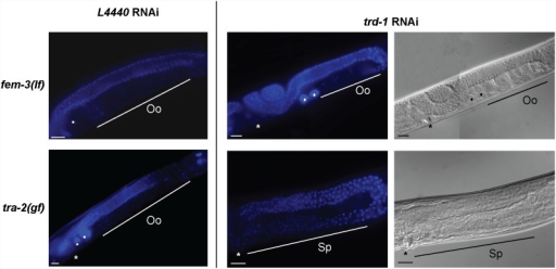 trd-1 functions downstream of tra-2 and upstream of fem-3.Whole worm DAPI images were taken of young adults (L4+1 day) in the presence and absence of trd-1 RNAi. The top panel shows that the germlines of fem-3(lf) (strain, CB4034) mutants are normally feminized at the restrictive temperature of 25°C. trd-1 (RNAi) does not suppress this phenotype. In contrast, the feminized germline of tra-2(gf) animals (strain, CB3778) is significantly suppressed following trd-1 RNAi, with most germlines being masculinized. Sp indicates the region of post-meiotic sperm and Oo represents oocytes in diakinesis. Closed circles indicate unfertilized oocytes and the asterisk indicates the location of the vulva. Scale bar, 20 µm. Anterior is to the left and dorsal is up in all images.