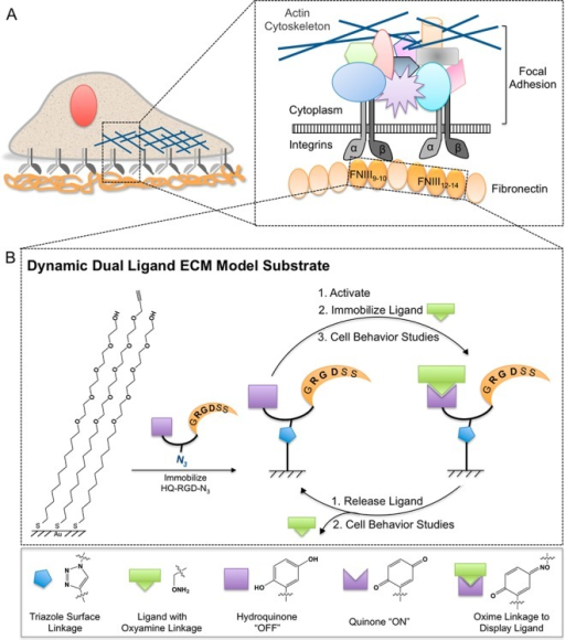 "Simplified schematicsof (A) cell adhesion to ECM protein FN viaintegrin interaction with FNIII9-10 cell-bindingdomains,cytoplasmic proteins, and the actin cytoskeleton to form a FAC and(B) a dynamic dual-ligand ECM model substrate. SAMs of alkyne-terminatedtetra(ethylene glycol) (alkyne-EG4SH) and tetra(ethyleneglycol)-terminated (EG4SH) alkanethiols are generated ongold substrates and reacted with hydroquinone- and azide-functionalizedcell adhesive peptide RGD (HQ-RGD-N3). HQ is considered""off"" and can be turned ""on"" for oxyamine(OA) ligand conjugation by electrochemical oxidation. Ligands thatare functionalized with OA groups (i.e., peptides, KKKTTK-OA, PHRSN-OA,RGD-OA, cRGD-OA, and sugars, Man-OA, Gal-OA) react and conjugate toQ-presenting surfaces under physiological conditions. Cells are culturedand observed on surfaces displaying cell adhesive RGD and variablebiomolecule. In situ electrochemical reduction dynamically releasesthe variable biomolecule, and cellular response to this environmentalchange is monitored."