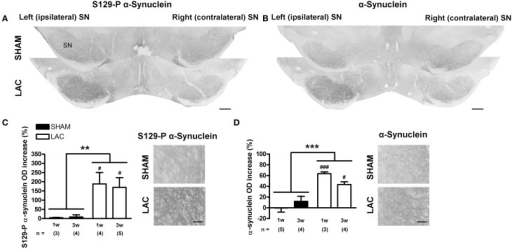 Accumulation of α-synuclein and S129-P α-synuclein in the SN of mice receiving 3 μg LAC. Immunohistochemical analyses revealed an increase in S129-P α-synuclein (A,C) and α-synuclein (B,D) immunoreactivity in the SN of LAC-treated mice. High magnification photomicrographs of the ipsilateral SNr in (A,B) demonstrate the presence of S129-P α-synuclein and α-synuclein immunoreactive fibers (C,D respectively). Data are presented as percentage increase in S129-P α-synuclein (C) or α-synuclein (D) optical density compared to the intact side (mean ± s.e.m.). ***p < 0.001, **p < 0.01 (Two-Way ANOVA), ###p < 0.001, #p < 0.05 (Bonferroni post-hoc vs. sham). Sample size indicated in the figure. LAC lactacystin, OD optical density, S129-P S129-phosphorylated, SN substantia nigra. Scale bar 400 μm (A,B), 50 μm (C,D).