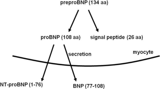 The release of BNP or NT-proBNP from the ventricular myocardium [16].