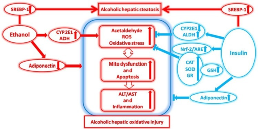 The effects of insulin pre-administration in mice exposed to ethanol: Alleviating hepatic oxidative injury through anti-oxidative, anti-apoptotic activities and deteriorating hepatic steatosis through SRBEP-1c activation.