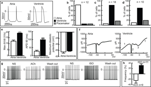 Subtype characterization and hormonal modulation of isolated cardiomyocytes support the phenotypes suggested by genetic profiling.(a) Representative action potentials (APs) of typical atrial and ventricular-like cells. (b) The ITGA6+ITGA1-ITGA5- sorted population reveals a prominent enrichment of atrial-like cells (n = 12), whereas both the (c) ITGA6-ITGA1+ITGA5+ (n = 18) and (d) ITGA6brightITGA1+ITGA5+ (n = 10) sorted populations reveal ventricular-like cardiomyocytes. (e) Analysis of key AP parameters shows clear differences between the atrial- and ventricular-like cardiomyocytes. (f) Representative voltage ramp recordings from an atrial and a ventricular-like cardiomyocyte. Note the functional expression of inward and outward current components, namely voltage dependent K+–(1), Na+–(2) and L-type Ca2+ (3)–currents. (g) Representative AP traces of ventricular-like cardiomyocytes and their response to perfusion with ACh (10 μM) (left traces) or Isoprenaline (1 μM). Note the negative and positive chronotropic response, respectively, and its reversal upon wash-out of the agonists. (h) Statistical analysis of the negative and positive chronotropic effects expressed as % of frequency variation in presence of the respective agonist compared to normal solution. Abbreviations: (APD90) action potential duration at 90% of repolarization; (Max dV/dt) Maximum rate of rise of the action potential; (NS) normal solution, (ISO) Isoprenaline, (ACh) Acetylcholine. The results are expressed as mean ± s.e.m. *** P <0.001 significant difference between the atrial and ventricular-like cells.