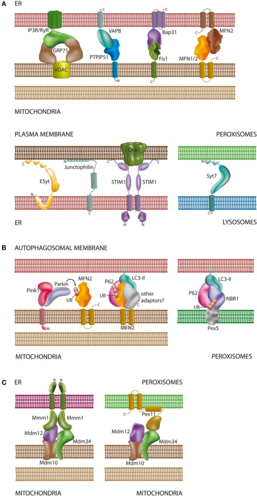 Schematic overview of proteins and lipids involved in the interaction of organelles. (A) Tethering complexes in mammals: unlike in yeast species only a few protein complexes have been characterized at the molecular level and involve protein-protein and protein-lipid contacts [see Sections Connections between the ER and the Plasma Membrane, The Mitochondria-associated Membrane of the ER (MAM), Interplay between Peroxisomes and Mitochondria, and Lysosomal Interactions and Autophagy]. Part of the tethering complexes shown may only comprise core complexes, which will interact with additional proteins for regulatory purposes; (B) contacts between mitochondria/peroxisomes and the autophagosomal membrane: both organelles require ubiquitination of membrane proteins for recognition by the autophagosome. In addition to MFN2 (Mitochondria) and Pex5 (Peroxisomes) other ubiquitinated organelle proteins have been described to participate in autophagosomal contacts [see Sections The Mitochondria-associated Membrane of the ER (MAM) and Lysosomal Interactions and Autophagy]; (C) ERMES as a multifunctional tethering complex in yeast: unlike mammals, yeast species possess the ERMES oligomeric complex at the mitochondrial membrane. ERMES forms complexes with the ER and peroxisomes [see Sections The Mitochondria-associated Membrane of the ER (MAM) and Interplay between Peroxisomes and Mitochondria]. In addition, a considerable number of other tethering complexes (not shown) have been described in yeast (Prinz, 2014). For molecular details and references of the depicted complexes please refer to the corresponding sections of this review. Membrane spanning α-helices in the proteins are depicted as cylindrical segments; C- and N-termini are marked with the corresponding letters.