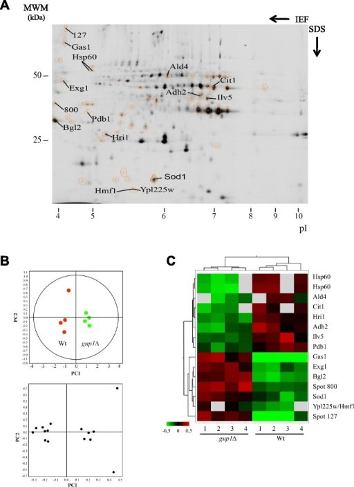Identification of the yECM proteins changing expression due to the mutation on GUP1 gene. a 2D DIGE analysis of the samples 1 and 2, showing the identification of the protein spots which abundance varied ≥ 2-fold and present p < 0.05. b and c Unsupervised multivariate analysis of data from the 2D DIGE experiment. b Upper panel: Principal Component Analysis showing respectively the clustering of the eight individual Cy3- and Cy5-labeled DIGE spot maps; Lower panel: score plots showing the subset of proteins whose ratios varied 2-fold or more and in which p < 0.05 in the two principle components. c Heat map of the relative protein expression values, each vertical lane corresponding to a sample from A - upper panel, and each horizontal lane a protein spot from A - lower panel. Hierarchical clustering settings are Pearson distance measurements and average linkage. The dendrogram of eight individual spot maps clustering is shown at the top, and that of individual proteins is shown on the left