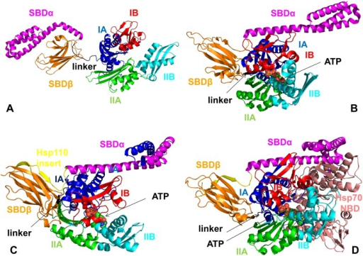 The Structures and Domain Organization of Functional States in DnaK and Sse1p Chaperones.A solution structure of an ADP-bound DnaK (pdb id 2KHO) (A) and the crystal structure of an ATP-bound DnaK (pdb id 4B9Q) (B). The structures are shown in a ribbon representation and main structural elements are annotated. The NBD subdomains are colored as follows: IA (in blue), IB (in red), IIA (in green), IIB (in cyan), the inter-domain linker (in black), SBD-α (in magenta), and SBD-β (in orange). (C) The crystal structure of the yeast Hsp110 (Sse1p) in a complex with ATP (pdb id 2QXL). (D) The crystal structure of Sse1p in a complex with the NBD of hHsp70 (pdb id 3D2F). The structures are shown in a ribbon representation and main structural elements are annotated and colored as in DnaK. The Sse1p insert in Sse1p-ATP structure is shown in yellow (C) and the NBD of hHsp70 in the Sse1p-Hsp70 complex is shown in pink (D).