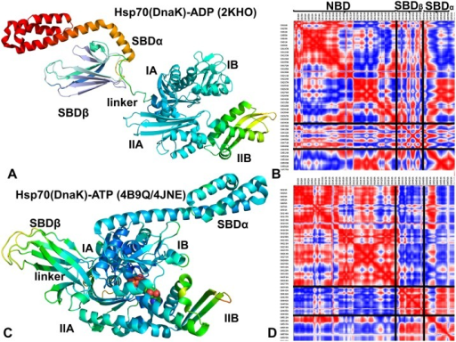 Analysis of Essential Motions in the Closed and Open DnaK Forms.Functional dynamics maps and cross-correlation matrices of residue fluctuations for the ADP-bound DnaK structure (A, B) and ATP-bound DnaK form (C, D). Conformational dynamics profiles were computed by averaging protein motions in the space of three lowest frequency modes. The color gradient from blue to red indicates the decreasing structural rigidity of the protein residues. PCA computations are based on the Cα atoms. The axes denote Cα atoms of the protein residues in sequential order. Cross-correlations of residue-based fluctuations vary between +1 (fully correlated motion; fluctuation vectors in the same direction, colored in red) and -1 (fully anti-correlated motions; fluctuation vectors in the same direction, colored in blue). The residue ranges corresponding to the NBD, SBD-α, and SBD-β regions are highlighted.