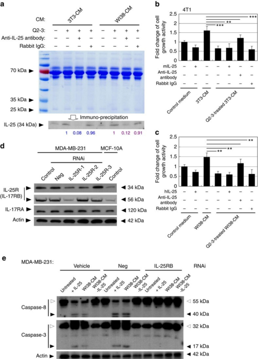 IL-25 secreted by Q2-3-treated fibroblasts suppresses the growth of mammary tumour cells.(a) Western blot analysis of the IL-25 secretion activity of mouse (3T3) and human (WI38) fibroblasts in response to Q2-3 treatment. Different fibroblast-conditioned media (CM), including 3T3-CM and WI38-CM, were collected from the 3D cultures and were stained with coomassie blue, revealing that the total protein level in tested CM was normalized. Aliquots of 3T3-CM and WI38-CM were immunodepleted for IL-25. Rabbit IgG (isotype control) was used as a negative control. Amounts of IL-25 (relative staining intensity) were further normalized with the value detected for Q2-3-treated 3T3-CM (blue) or Q2-3-treated WI38-CM samples (purple). (b) Reduction in cytotoxicity of 3T3-CM on 4T1 cells after immunodepletion of IL-25. The control (fresh) medium, 3T3-CM, Q2-3-treated 3T3-CM, Q2-3-treated 3T3-CM with added IL-25 protein, Q2-3-treated 3T3-CM with the immunodepletion of IL-25 and Q2-3-treated 3T3-CM with control IgG-mediated immunodepletion, were compared for their suppressive effect on growth of 4T1 cells. (c) Reduction in cytotoxicity of WI38-CM on MDA-MB-231 after immunodepletion of IL-25. Similarly, WI38-CM with added IL-25 protein, WI38-CM with the immunodepletion of IL-25, or Q2-3-treated WI38-CM with control IgG-mediated immunodepletion, were compared for their effect on growth of MDA-MB-231 cells. The growth activity of 4T1 cells or MDA-MB-231 cells was determined using MTT assay at 5 days post cultivation, and was normalized to the control group (with fresh medium only). Data are reported as mean±s.d. (n=3). *P<0.05; **P<0.01; ***P<0.001 (two-tailed Student's t-test). (d) Western blot analysis of IL-17RA and IL-17RB (IL-25R) expression in MDA-MB-231 and MCF-10A cells. Knock down of human IL-25R (both 56 and 33 kDa molecules) expression in MDA-MB-231 cells was performed with three designed siRNAi treatments. Neg, negative control RNAi. (e) Western blot analysis of the cleavage of caspases 8 and 3 in MDA-MB-231 cells. MDA-MB-231 cells were treated by control-, Neg RNAi- or IL-25R RNAi, for 48 h. Some cells in each test group were cultivated with recombinant human IL-25 (200 ng ml−1), WI38-CM, or WI38-CM with the immunodepletion of IL-25, for another 24 h. White arrowheads, cleaved protein. Black arrowheads, uncleaved protein. β-Actin served as an internal control. Similar results were obtained from three independent experiments.