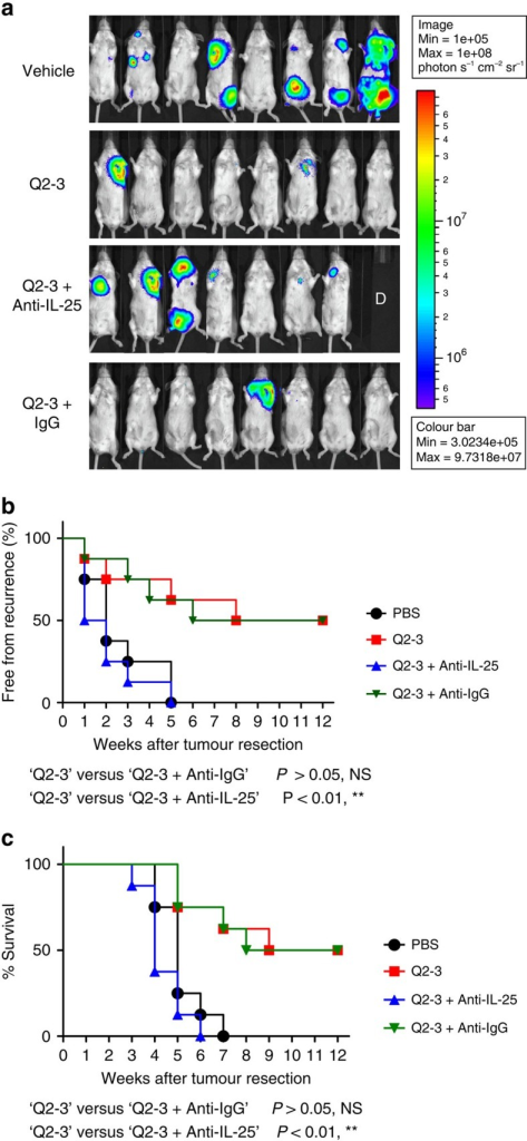 In vivo neutralization of IL-25 activity can effectively invalidate the anti-metastatic activity of Q2-3.(a) Representative bioluminescent images of tumour-resected mice (n=8 per group) after in vivo treatment with PBS (0.1% DMSO in saline), Q2-3 (100 μg kg−1; 3 injections per week), anti-mouse IL-25 Ab (100 μg per mice; 2 injections per week), Q2-3+IL-25 Ab, or Q2-3+isotype IgG, at 3 weeks post tumour resection. The label 'D' in the photograph denotes the mice died before 3 weeks post tumour resection. (b) Quantification of tumour metastasis by measuring luciferase activity photons s−1 cm−2 sr−1 in mice, as revealed along the indicated time course (12 weeks). (c) Survival of test mice after different treatments. NS, no significant difference between the 'Q2-3' and 'Q2-3+Anti-IgG' groups. **P<0.01, was obtained between the 'Q2-3' and 'Q2-3+Anti-IL-25' groups (Kaplan–Meier results were analysed by log-rank test). Similar results were obtained from two independent experiments.