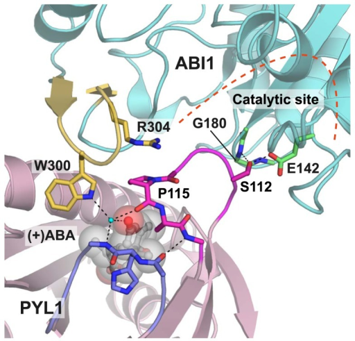 ABA-induced interaction between PYL1 and ABI1. The gate (magenta) and latch (blue) loops contact the β-hairpin of ABI1 (yellow), which also indirectly interacts with ABA mediated by a water molecule (cyan). This figure was created using PDB coordinates of the complex of ABA-bound PYL1 and ABI1 (3JRQ).