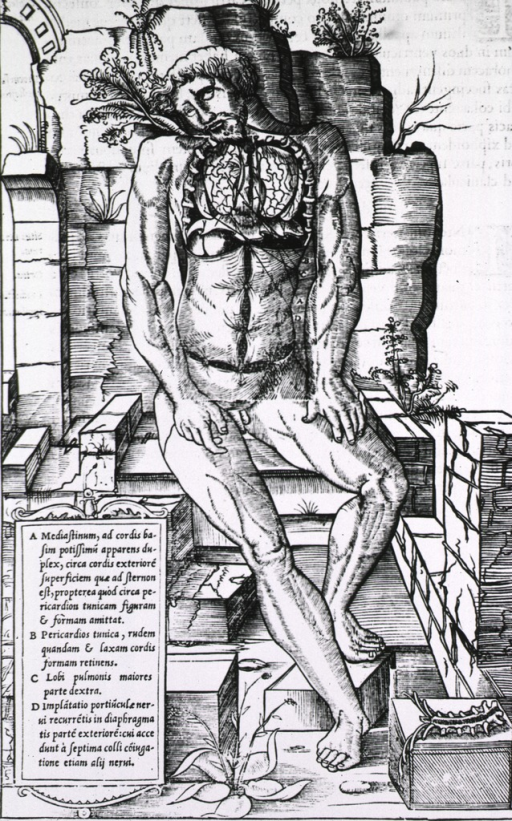 <p>Full length human figure seated in front pose; the upper torso has been dissected with the lungs exposed and labelled.</p>