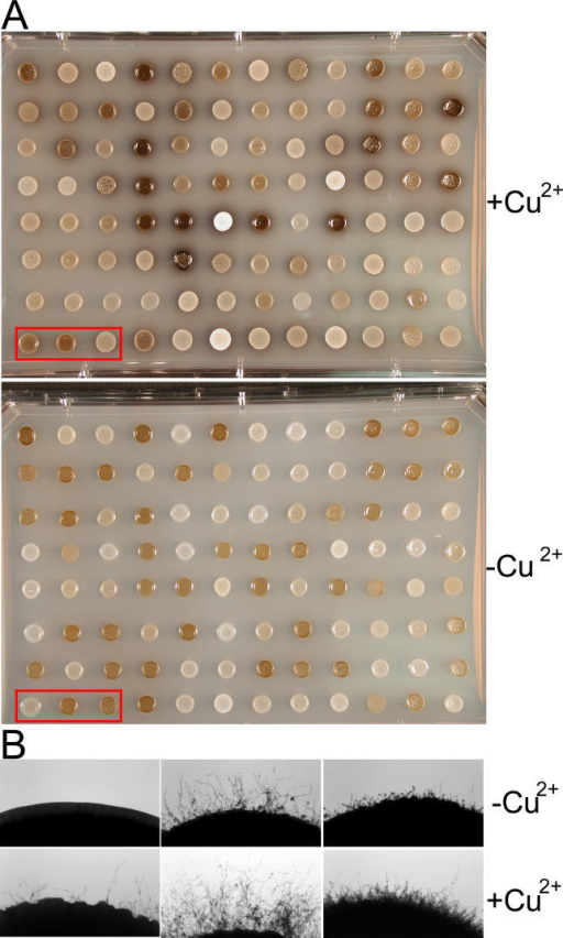 Different Responses to Copper in Melanin Production and Filamentation among the Mapping PopulationCells were cultured on L-DOPA medium with or without addition of 50 μM copper sulfate.(A) Differences in melanin production. The upper panel shows the melanin production on medium supplemented with copper and the lower panel without copper addition.(B) Differences in filamentation. The progeny in the left bottom corner of the plate in red rectangles in (A) are shown. The upper panel shows filamentation in the medium without copper and the lower panel with copper addition.
