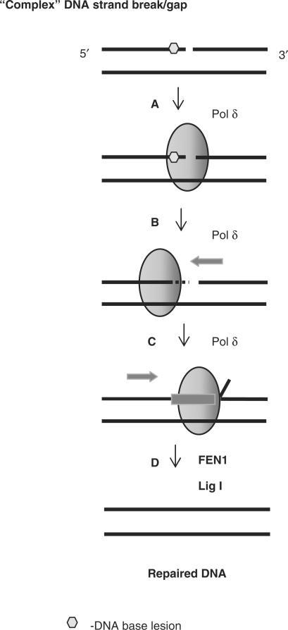 Proposed mechanism of repair of DNA lesions located in close proximity to the 3′-end of a DNA single strand break by Pol δ. Complex DNA strand breaks containing 3′-proximal lesions that are resistant to the major BER enzymes are recognized by Pol δ (step A) that excises the lesion through its associated 3′-5′-exonuclease activity (step B). Pol δ is then able to insert the correct nucleotides into the gap causing strand displacement of the adjacent strand (step C). The subsequent 5′-flap generated is removed by FEN1 and DNA ligase I seals the nick (step D). PCNA can notably stimulate steps C and D.