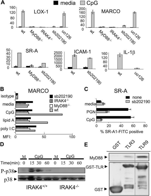 TLRs use a MyD88–IRAK4–p38 signaling pathway in order to induce expression of the SRs MARCO, LOX-1, and SR-A. (A) BMMs from MyD88−/−, IRAK4−/− mice, or wild-type BMMs pretreated with either sb202190 (sb, 10 μM) or uo126 (10 μM) were stimulated with media (m) or CpG (100 nM) for 4 or 12 h. Total RNA was collected, converted to cDNA, and then Q-PCR was used to assay the inducible expression of SR-A, LOX-1, and MARCO under the different conditions. To control for specificity of p38 and ERK 1/2 inhibition, induction of ICAM-1 and IL-1β were also measured. Q-PCR data are represented in relative expression units and normalized to L32. (B) Wild-type, MyD88−/−, IRAK4−/−, and sb202190 (10 μM) pretreated wild-type BMMs were stained for MARCO surface expression after 24 h of media, CpG (100 nM), lipid A (1 ng/ml), or poly I:C (1 μg/ml) treatment and FACS® data are represented as the mean fluorescent intensity (MFI) of each cell population. (C) RAW 264.7 cells were stimulated with CpG (100 nM) or PGN (20 μg/ml) for 24 h, either in the presence of absence or 10 μM sb202190, stained with a FITC-labeled αSR-A antibody, and then analyzed by FACS®. (D) BMMs from wild-type and IRAK4−/− mice were stimulated with media or CpG (100 nM) for the indicated times. Whole cell extract was then subjected to immunoblotting to detect phosphorylated (activated) p38 or total p38. (E) 293T cells were transfected with a MyD88 expression vector. Extract was collected and incubated with glutathione beads containing either TLR9 (intracellular domain)–GST, TLR3 (intracellular domain)–GST, or GST alone. Bound MyD88 was eluted by boiling and visualized by immunoblotting using an anti-MyD88 polyclonal antibody. The dashed line represents a cropping border where irrelevant lanes have been removed. Data are representative of at least two independent experiments.