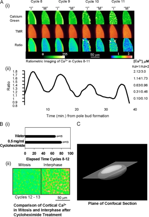 Calcium increases in phase with the interphase cortical contractions in syncytial Drosophila embryos. (A i) [Cai] increases measured by confocal ratio imaging. The three rows of images display CaGr, TMR, and ratio images that represent the spatial distribution of the calcium signals as snapshots in midinterphase and midmitosis. Interphase and mitosis in cycles 8 and 9 are inferred from the timing of the cortical contractions (I and M). In the later two cycles, when the nuclei have come to the egg cortex, their presence is marked by areas of low calcium concentration. They are sometimes faintly visible in the ratiometric image (arrows), and the correlation between nuclei in interphase (I), the cortical contractions, and the calcium increase was noted. The pixel values in the ratiometric image are represented by a conventional rainbow scale, with higher calcium concentrations shown as warmer tones. Red colors in the image correspond to [Cai] in the midmicromolar range, as can be seen by comparison with the calibration shown in (ii). (ii) The temporal pattern of [Ca]i increase in the embryo shown in (i). [Cai] values are means for the whole embryo. Calibrated calcium concentrations are shown at right (see Calibration…signals). Note that as the nuclear division cycle time lengthens, the time between [Cai] signal peaks also lengthens so that the [Cai] signal remains in phase with the nuclear cycle. (B i) The nuclear division cycle length can be increased experimentally by ∼20% through treatment with cycloheximide. Numbers on x axis represent minutes. Error bars represent SEM. (ii) The [Ca]i peaks remain associated with interphase after cycloheximide treatment. Temperature is 18°C. (C) A schematic view of the embryo showing the plane of the confocal section in this and other figures. Note that the periphery of the section through the embryo provides images of the cortex and that the center of the section looks deeper into the embryo. Images are oriented with the anterior pole being uppermost.