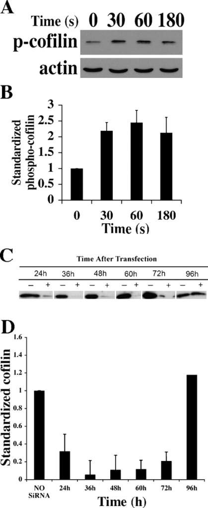 EGF stimulation does not induce cofilin dephosphorylation in MTLn3 cells. (A) Representative Western blot for p-cofilin in MTLn3 cells at 0, 30, 60, and 180 s after stimulation. (B) Plot of p-cofilin band intensities standardized over the corresponding actin bands (time is in seconds after stimulation). (C) Cofilin siRNA suppresses the levels of cofilin expression in MTLn3 cells. Representative Western blot of cofilin after cofilin RNAi transfection or after control treatment with oligofectamine (time is in hours after transfection). White lines indicate that intervening lanes have been spliced out. (D) Quantitation of anti-cofilin Western blotting analysis of lysates at different time points after transfection. Error bars are SEM of averages of at least three independent experiments.