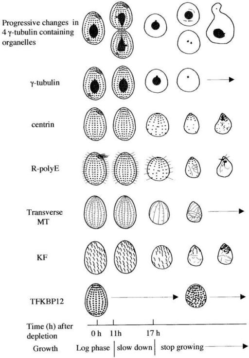 an overview of the ultrastructure of cells Using a microscope, he described the structure of cork as closely resembling  prison  most textbooks have a summary table or diagram at the end of the cell.