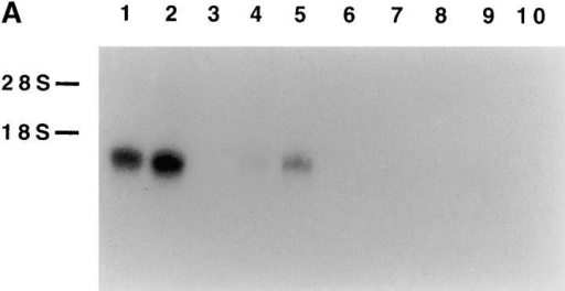 Northern blot analysis of NKp30 transcript expression and Zoo-Blot analysis. (A) Total RNA was isolated from cells of different origin. Lanes 1 and 2, polyclonal NK cell populations; lane 3, blank; lane 4, an NK cell line (NKL); lane 5, an NK cell line (NK3.3); lane 6, human monocytes; lane 7, a histiocytic lymphoma cell line (U937); lane 8, a T lymphoma cell line (Jurkat); lane 9, an acute promyelocytic leukemia cell line (HL60); and lane 10, an EBV-transformed B cell line (LCL721.221). 10 μg of each RNA preparation (2 μg of poly A+ RNA from polyclonal NK cell populations, lanes 1 and 2) were hybridized with the 421-bp NKp30 cDNA probe. The positions of 28S and 18S ribosomal RNA subunits are indicated on the left. (B) A Southern blot containing genomic DNA from humans, Rhesus monkey, Sprague-Dawley rat, BALB/c mouse, dog, cow, rabbit, chicken, and S. cerevisiae yeast was hybridized under low stringency condition with the 421-bp NKp30 cDNA probe.