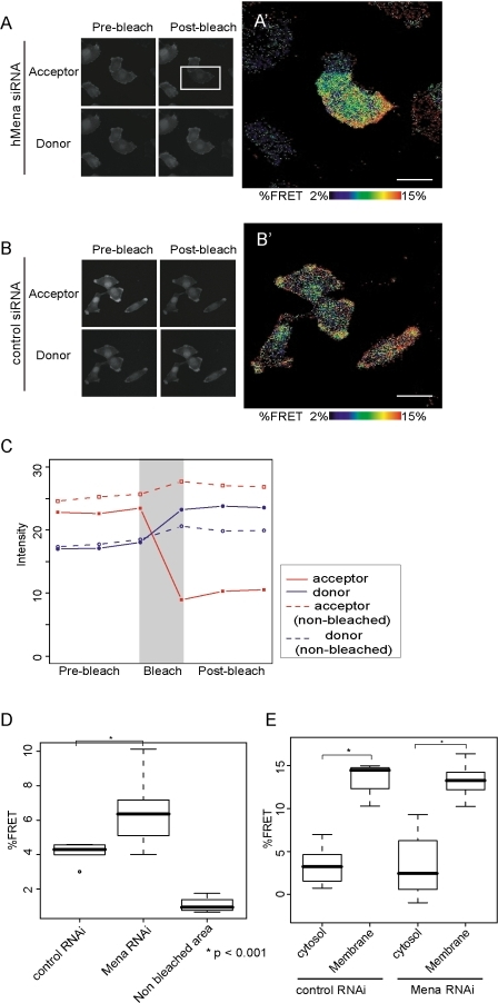 Imaging of Rac activity in U251MG cells using a u-adFRET assay.U251MG cells co-transfected with Raichu-Rac and hMena siRNA or control siRNA were replated onto glass-bottom dishes. YFP and CFP images were obtained from spectral images using the linear unmixing method. Expression patterns of YFP (acceptor) and CFP (donor) of Raichu-Rac1 before (A, B, left panels) and after (A, B, right panels) acceptor photobleaching. Bleached area indicated with a rectangle in A. In the control cells, the whole area in B is photobleached. (A', B') Mapping of FRET efficiency. In hMena knock-down cells, Rac1 was activated in an extended arc-like structure which corresponds to the lamellipodia (A'). In control cells, Rac1 was also activated at the protrusive ruffling membrane (B'). Bars, 20 µm. (C) Example profiles of fluorescence of donor (blue) and acceptor (red) before and after photobleaching. Dashed lines indicate the change of the fluorescence within the non-bleached area. (D) Box and whisker plots for mean FRET efficiency of U251MG cells. (E) Box and whisker plots for regional FRET efficiency in U251MG cells. For the box and whisker plots, top and bottom of the box represent the 75th and 25th quartile, and whiskers 10th and 90th percentiles, respectively. The middle line of the box is the median. Data is from 20 cells each. Brackets with asterisks indicate statistically significant differences between data sets from a Student's t test (p<0.001).