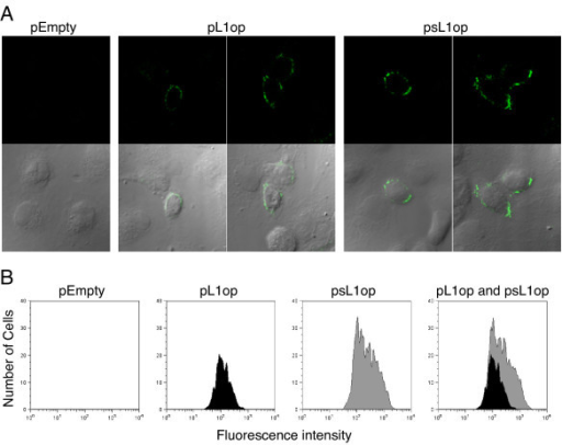 Cell surface expression of modified L1 proteins determined by confocal microscopy and flow cytometry. (A) BS-C-1 cells were transfected with empty vector, pL1op, or psL1op and stained with anti-L1 mAb (7D11) followed by anti-mouse IgG FITC and viewed by confocal microscopy. Upper panel shows confocal fluorescent images and the lower panel shows a merge of confocal fluorescent and differential interference contrast images. (B) BS-C-1 cells were transfected as in panel A. After 24 h, non-permeabilized cells were incubated with MAb 7D11 followed by anti-mouse IgG antibody conjugated to fluorescein isothiocyanate, fixed with paraformaldehyde and analyzed by flow cytometry with gating on L1 positive cells.