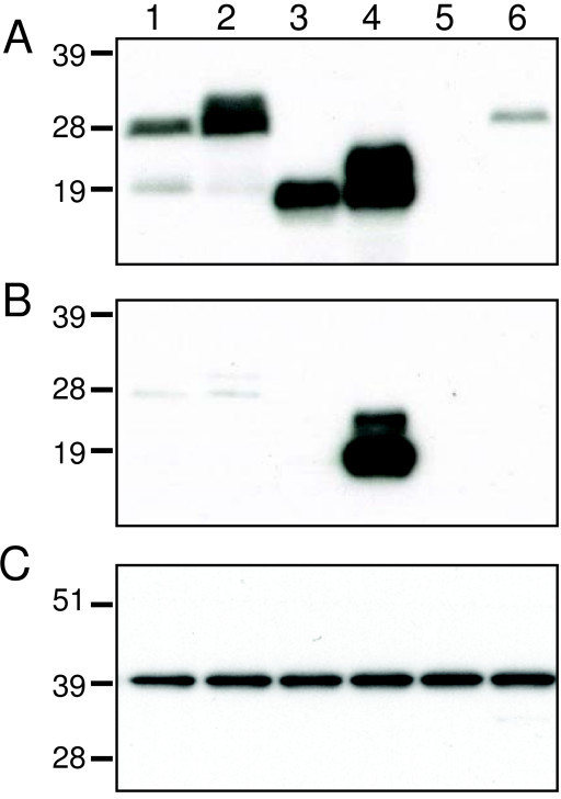 Expression of truncated L1 proteins detected by Western blotting. BS-C-1 cells were transfected with plasmids and cells (A) and media (B) were harvested separately and analyzed by SDS-PAGE followed by Western blotting with polyclonal L1 antibody. In panel C, the Western blot of the cell lysate was probed with antibody to glyceraldehyde 3-phosphate dehydrogenase as a loading control. Proteins were detected by chemiluminescence. Lanes: 1, pL1op; 2, psL1op; 3, pL1optr; 4, psL1optr; 5, empty vector; 6, lysate from VACV-infected cells. The positions and masses in kDa of marker proteins are shown on the left.