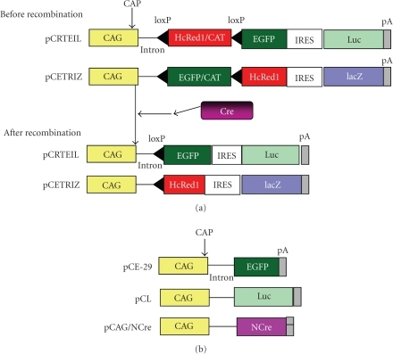 (a) Scheme for Cre-loxP-mediated recombination using pCRTEIL and pCETRIZ as reportertransgenes. Before recombination, the floxed HcRed1/CAT hybrid sequence isexpressed under control of the CAG promoter in cells carrying pCRTEIL, whilethe EGFP and luc cDNAs are silent. Similarly, the floxed EGFP/CAT hybridsequence is expressed in cells carrying pCETRIZ, but the HcRed1 cDNA and lacZgenes are silent. Cre-mediated recombination results in deletion of the floxedsequence, and expression of the EGFP and luc cDNAs in pCRTEIL-carrying cells orexpression of HcRed1 and lacZ in cells carrying pCETRIZ. (b) Plasmids (pCE-29, pCL,and pCAG/NCre) are used for expression of EGFP, luc, and NCre, respectively. All plasmids have a pBluescript SK(-) backbone. Abbreviations are CAG:cytomegalovirus enhancer + chicken β-actin promoter; CAP site: transcription start site; CAT: chloramphenicolacetyltransferase gene; EGFP: enhanced green fluorescent protein cDNA; IRES:internal ribosomal entry site; Luc: firefly luciferase cDNA; NCre: nuclearlocation signal + Cre gene; pA: poly(A) sites.