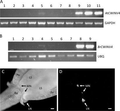 CWINV4 is highly expressed in nectaries. Reverse transcription-polymerase chain reaction (RT-PCR) was used to examine the expression profiles of AtCWINV4 (A) and an orthologue from Brassica rapa (B; BrCWINV4, accession number GQ146458). The tissues examined in (A) included: (1) petal; (2) sepal; (3) rosette leaf; (4) stamen; (5) pistil; (6) root; (7) internode shoot; (8) silique; (9) mature median nectaries (Stage 14–15); (10) immature lateral nectaries (Stage 11–12); and, (11) mature lateral nectaries (Stage 14–15). (B) Tissues included: (1) petal; (2) sepal; (3) leaf; (4) stamen; (5) pistil; (6) root; (7) stem; (8) mature median nectaries; and (9) mature lateral nectaries. GAPDH (At3g04120) and a B. rapa ubiquitin gene (BrUBQ, accession number GR719937) were used as constitutively expressed controls. All B. rapa floral tissues examined were from the equivalent of Stage 14–15 Arabidopsis flowers. The images shown are the results obtained after 27 cycles of RT-PCR. (C) Bright field image of Stage 15 Arabidopsis flower expressing an AtCWINV4:GFP fusion, under control of the native AtCWINV4 promoter, and (D) GFP fluorescence derived from same flower. Sepals were removed prior to imaging. Re, receptacle; Pe, petal; LS, long stamen; MN, median nectary; LN, lateral nectary; scale bars, 100 μm.