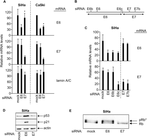 RNAi-mediated knock-down of HPV E6 and HPV E7 in SiHa and CaSki cells, and effects on p53 and retinoblastoma protein.  (A) mRNA qRT-PCR determinations 48h                                            post-transfection as indicated, mean ± s.d. of three determinations.                                            Asterix indicates differential effect of E7 siRNA on E6 mRNA levels in SiHa                                            versus CaSki cells. (B) Relative positions of siRNA sequences along                                            the bicistronic E6/E7 transcript. (C) Relative levels of E6 and E7                                            mRNAs 48h post-transfection of SiHa cells with the indicated siRNAs. (D,                                                    E) Immunoblots showing effects of E6 or E7 depletion on levels of p53,                                            p21 and hyperphosphorylated Rb (pRb*) in SiHa cells.
