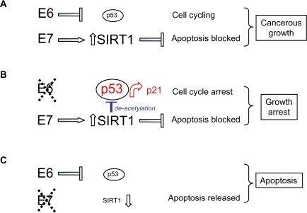 Model for the                                            respective effects of HPV E6 and HPV E7 on human cervical cancer cell                                            survival and proliferation taking into account (A) up-regulation of SIRT1                                            protein by HPV E7, (B) SIRT1-mediated de-acetylation of p53 and (C)                                            SIRT1 cervical cancer cell survival functions (see text).
