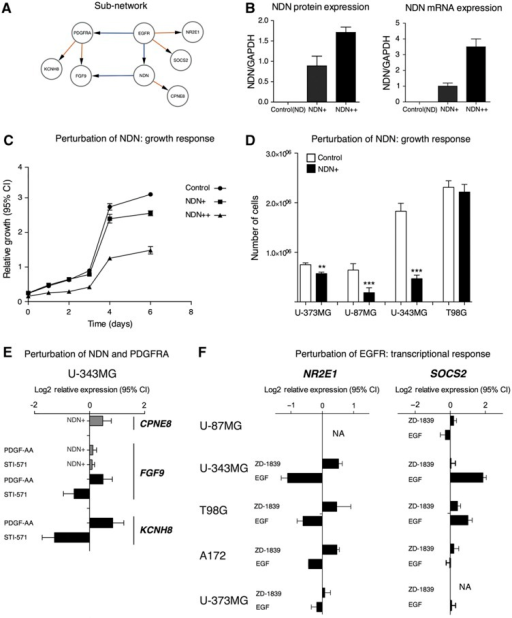 Experimental perturbations of a network region controlled by NDN and PDGFRA. (A–D) NDN overexpression slows the growth of glioblastoma cell lines. (A) Interactions in the network around EGFR, NDN and PDGFRA. (B) Perturbation of NDN by stable overexpression in two separate U343-derived cell lines, denoted as NDN+ (moderate overexpression) and NDN++ (high overexpression). (C) Growth curves collected during 6 days showed that NDN overexpression inhibits growth of U343 cells. Error bars indicate 95% confidence intervals. (D) Single-time point (7 days) measurement of cell number in NDN-overexpressing cells. Error bars indicate s.e.m. (E) Perturbation of PDGFRA by PDGF-AA protein (ligand) and imatinib (STI-571; Gleevec™; inhibits PDGFRA and certain other tyrosine kinases), respectively, produces opposite responses in target genes KCNH8 and FGF9, which were identified as downstream targets of PDGFRA in the model. NDN overexpression induces CPNE8 target genes and modulates FGF9 response to PDGFRA. Error bars indicate 95% confidence intervals of mRNA expression log2-relative to untreated controls. (F) Perturbation of EGFR by its ligand EGF and gefitinib (ZD-1839 Iressa™; inhibits EGFR) produces opposite responses in the predicted EGFR target genes SOCS2 and NR2E1.