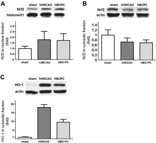 HBO preconditioning had no effect on Nrf2 regulation, and significantly reduced HO-1 expression. Representative immunoblots and densitometric analysis of Nrf2 in nuclear fraction (A), Nrf2 in cytosolic fraction (B), and HO-1 in cytosolic fraction (C) at 24 h after MCAO. HBO-PC had no effect on Nrf2 regulation. Furthermore, HO-1 was downregulated by HBO-PC. *P > 0.05 vs. htMCAO, #P > 0.05 vs. sham.