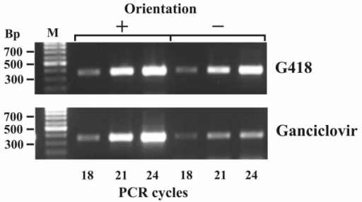 PCR products obtained using a genomic DNA template from transfected CHO cells after positive (G418) and positive-negative (Ganciclovir) selection and primers specific to the sns insulator in direct (+) or reverse (-) orientation relative to the CMV minimal promoter. M-DNA length marker (SibEnzyme).