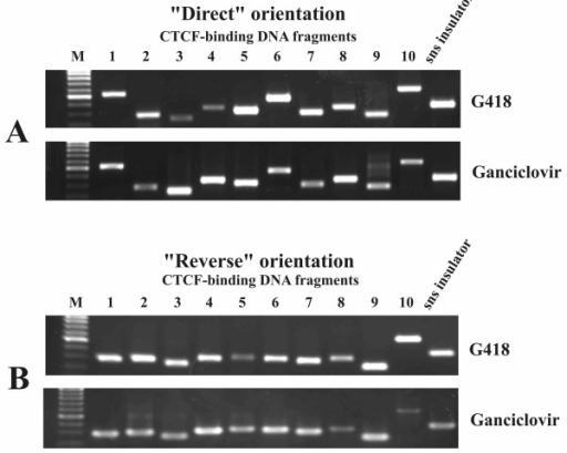 "PCR products obtained using a genomic DNA template from transfected CHO cells after positive (G418) and positive-negative (Ganciclovir) selection and primers specific to 10 CTCF-binding DNA fragments. A-""direct"", and B-""reverse"" orientation of the fragments relative to the CMV minimal promoter. M-DNA length marker (SibEnzyme)."