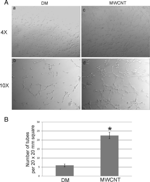 SAEC exposure to MWCNT increases the angiogenic potential of HMVEC. A. SAEC and HMVEC were grown in the apical and basolateral chambers, respectively, of a co-culture system, and SAEC were exposed to either DM or 1.2 μg/ml MWCNT for 24 h. HMVEC were removed from the co-culture, rinsed thoroughly in serum free media, and plated in serum free media on Matrigel plugs. Images of capillary-like formation were captured 4 h after plating at both 4X and 10X magnifications in DM (a,b) and MWCNT (c,d) exposures. Three separate angiogenesis assays were performed, and a representative image is shown. B. The number of tube-forming cells in DM or MWCNT-exposed co-cultures was determined by counting the number of tube-forming cells in 6 randomly chosen 20 × 20 mm squares in the 4X images of three separate angiogenesis assays. The average number ± standard error of tube-forming cells in the DM control was 5.91 ± 0.81, and the mean ± standard error of tube-forming cells in the MWCNT-exposed co-culture was 22.50 ± 1.73. * p < 0.05.