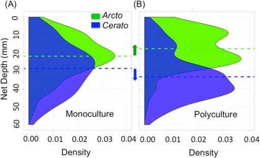 Shifts in net distribution in mono.- vs. polyculture suggest a likely mechanism leading to differences in critical shear stress.(A) A kernel density plot shows the density of nets at a given depth. Ceratopsyche (blue) and Arctopsyche (green) build at relatively similar depths in monoculture, although the smaller species, Ceratopsyche, is capable of building at a significantly deeper depth. Dotted lines represent the mean net depth for each species. (B) When placed together in polyculture, Arctopsyche shifts to build its nets at a shallower depth and Ceratopsyche shifts to build its nets at a deeper depth.