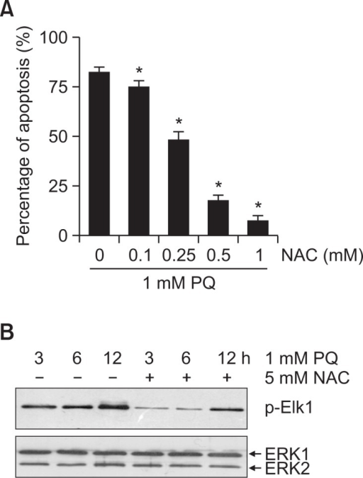 The effect of ROS on the activation of ERK1/2 induced by paraquat in NIH3T3 cells. (A) NIH3T3 cells were pretreated with different dose of NAC for 12 h and then treated with 1 mM paraquat. The extent of apoptosis was measured 24 h later. Results are shown as means ± S.D. (n=3). *<0.05. (B) Cells were treated with 1 mM paraquat for indicated time in the presence or absence of 5 mM NAC, and activity of ERK1/2 was determined as described in Fig. 2B.