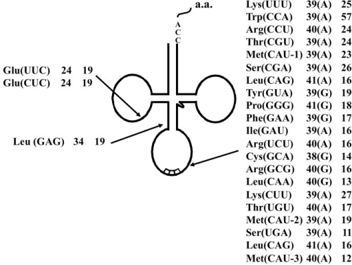 Summary of the tRNA introns identified in S. tokodaii strain7 [15]. Each label includes the tRNA species, the respective intron position relative to the 5' end of respective tRNA, and the lengths of the introns. Characters within parentheses indicate the nucleotide one base 5' from the intron border.