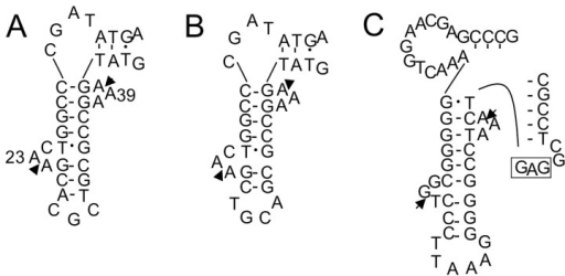 "Exon-intron border regions of unspliced forms of tRNAGlu(UUC) (A); tRNAGlu(CUC) (B); and tRNALeu(GAG) (C) of S. tokodaii strain7 [15]. These are examples of introns located at positions other than position ""37/38"". In (A,B), only the D-arm region is shown; In (C), only the D-arm and anticodon arm regions are shown. The arrowheads indicate the exon-intron borders determined in our previous study [15]. The anticodon sequence of tRNALeu(GAG) is boxed."