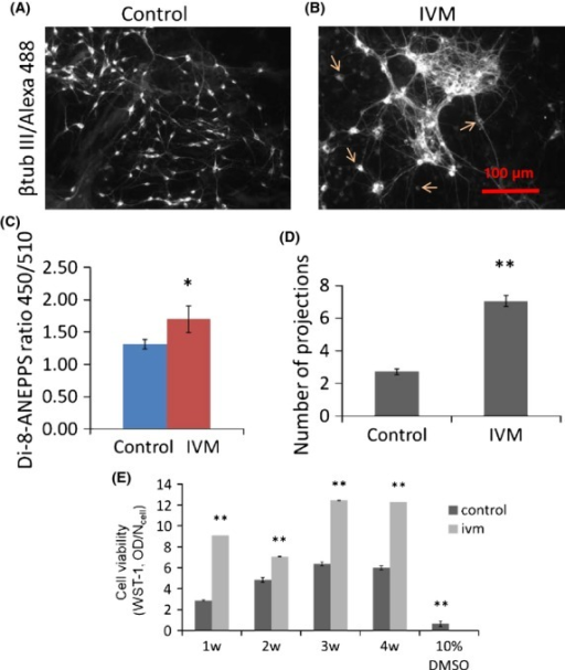 Depolarized cell membrane causes more projections to be formed in mature neurons; 3 week cocultures of rat primary cortical neurons and astrocytes were stained with beta tubulin III and Alexa Fluor 488 to visualize the neurons, (A) under control and (B) Ivm-treated (1 μmol/L, 24 h) conditions. (C) Ivm-caused depolarization of the cell membrane detected using ratiometric dye Di-8-ANEPPS. N = 12. (D) The numbers of neural projections of single cells (arrows) were counted. N = 18. (E) Cell viability at 1, 2, 3, and 4 weeks in control (no drug) and Ivm-treated cultures. 10% DMSO was used as negative control. *P ≤ 0.05, **P ≤ 0.01. N = 18.
