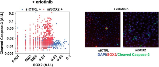 SOX2 expression modulates erlotinib-induced apoptosis.Left panel, quantitative immunofluorescence analysis showing expressionof SOX2 (x-axis) and cleaved caspase-3 (y-axis) in PC9 cells transfectedwith siCTRL (blue) or siSOX2 (red) and treated with erlotinib (N =2452–3792). Knockout of SOX2 results in decreased SOX2 expressionand increased cleaved caspase-3. Right panels, representativeimmunofluorescence images from erlotinib-treated cells showing DAPI(blue), SOX2 (red), and cleaved-caspase-3 (green) staining. Source dataare included as Figure 5—source data 2.DOI:http://dx.doi.org/10.7554/eLife.06132.031