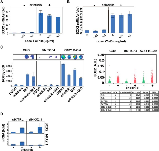 Assessing the role of previously identified regulators onerlotinib-induced expression of SOX2.(A) Pre-treatment of PC9 cells with FGF10 has minimaleffects on SOX2 induction by erlotinib. (B) The addition ofexogenous Wnt3A has no effect on induction of SOX2 by erlotinib.(C) The beta-catenin pathway does not regulate SOX2expression. HCC827 cells were stably transduced with inducible lentiviralconstructs expressing a dominant negative TCF4 transgene (DN TCF4) or theconstitutively activated S33Y variant of Beta-Catenin (S33Y B-Cat), andwith a lentiviral TOP FLASH reporter. Left, the expected activity of eachtransgene was confirmed by TOP FLASH luciferase assay in the absence orpresence of the GSK3 inhibitor/Beta-Catenin activator BIO (and−/+ erlotinib). Representative wells after luciferaseimaging are shown above the graph. Right, the effect of each transgene onthe levels of SOX2 induction by erlotinib compared to control (GUS) cellsis minimal. (D) Knockdown of TTF1 (NKX2.1) with siRNA hasminimal effects on the degree of SOX2 induction by erlotinib.DOI:http://dx.doi.org/10.7554/eLife.06132.042