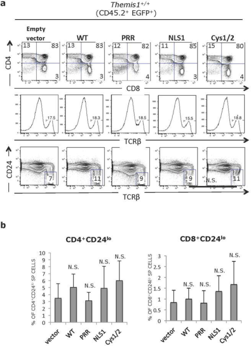 Effect of Themis1 or Themis1 mutant protein expression on Themis+/+ thymocyte development. Lethally irradiated C57BL6/J (CD45.1+) mice were reconstituted with lineage depleted Themis1+/+ bone marrow cells (CD45.2+) that had been infected with a bicistronic EGFP expressing retroviral vector (Empty vector) or the same vector encoding either wild type Themis1 cDNA (WT) or mutant Themis1 proteins: Themis-ΔPRR (PRR), Themis-ΔNLS (NLS) or Themis-ΔCys (Cys1/2). Eight weeks post-reconstitution, bone marrow chimeras sacrificed and thymocytes and splenocytes were analysed by flow cytometry. a. Intracellular staining for Themis1 in CD45.2+ EGFP+ CD4+CD8+ (DP) thymocytes from bone marrow chimeric mice. Grey histograms represent Themis1 expression in EGFP− DP thymocytes. Green histograms represent expression of Themis1 in EGFP+ DP thymocytes, expressing the indicated Themis1 proteins. b. Representative flow cytometry analysis of CD45.2+ EGFP+ thymocytes from bone marrow chimeras. Upper plots show CD4 versus CD8 profiles, middle histograms show percent of TCRβ+ cells. Bottom plots show percent of mature CD45.2+ EGFP+ TCRβhiCD24lo thymocytes. Plots in right column show Themis1+/+ thymocytes infected with empty retroviral vector for reference. c. Percentage of mature (TCRβhiCD24lo) CD45.2+ EGFP+ CD4-SP and CD8-SP thymocytes in the indicated bone marrow chimeras (n=6 each). N.S., not significant (Two-tailed T-test, unequal variance). All comparisons are to vector only.