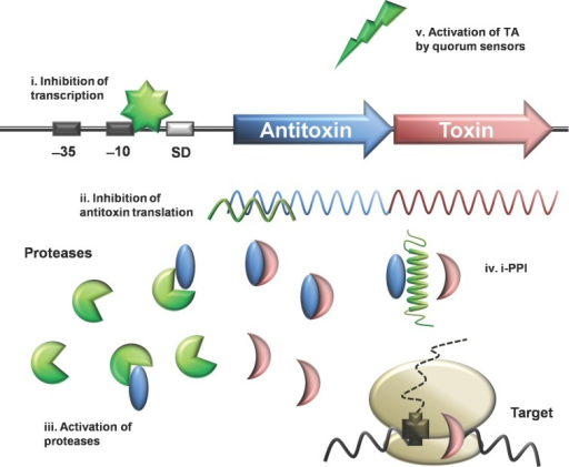 Proposed strategies to use TA as antimicrobials. A few approaches have been suggested to make use of the toxin (crescent) of the pathogen itself for self-killing: Inhibition of TA transcription (I) or inhibition of antitoxin (oval) translation (II), thus antitoxin cannot be replenished and once the remaining antitoxin is degraded, the toxin will be free to act on the bacterial cell; Activation of host proteases (III) to rapidly degrade the labile antitoxin proteins and disruption of TA protein complex by i-PPI (IV) to liberate the toxin, as well as triggering activation of TA by quorum sensors (V).