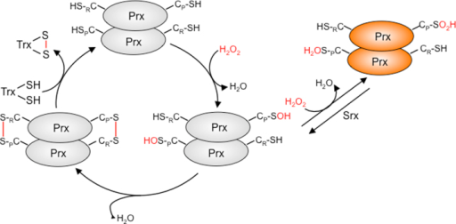 The peroxidatic cycle of eukaryotic 2-Cys Prxs. Eukaryotic typical 2-Cys Prx are obligate dimers with a mechanism involving two Cys residues, in which CP decomposes H2O2 into H2O by nucleophilic attack and is oxidized to a sulfenic acid (CP-SOH). The sulfenic acid then reacts with the resolving Cys (CR) residue of the other subunit to form an intermolecular disulfide [48]. This disulfide is then reduced by thioredoxin, which completes the catalytic cycle. Alternatively, when H2O2 levels raises, the CP-SOH can further react with H2O2, which leads to formation of a CP-sulfinic acid (CP-SO2H). The latter is reversed back to CP-SOH by ATP-dependent reduction by sulfiredoxin (Srx).