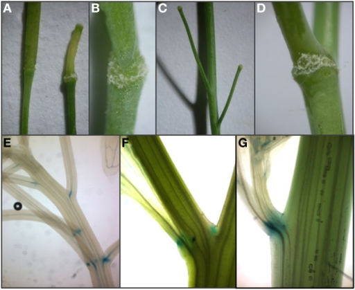 Expression of HAE and HSL2 promoter: GUS constructs at sites of ectopic abscission. (A–C) Enlargement of AZ and premature abscission of whole flowers and immature fruits compared to wild type silique (to the left in A) in A. thaliana plants overexpressing AtIDL1. (D) Enlarged vestigial AZ after abscission of a cauline leaf in A. thaliana overexpressing AtIDL1. (E,F)pHAE:GUS expression and (G)pHSL2:GUS expression in vestigial AZs at the bases of pedicels, branches, and cauline leaves.