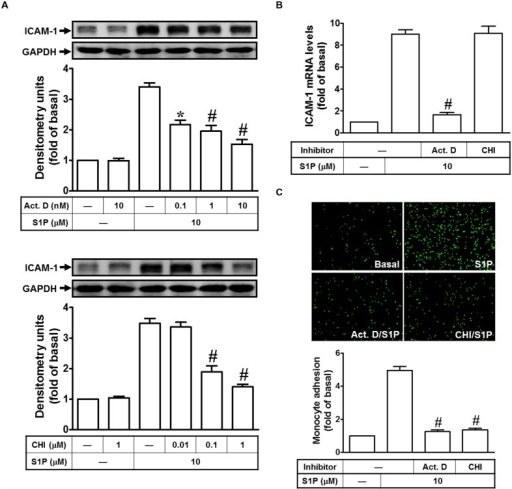 Sphingosine-1-phosphate-induced ICAM-1 expression requires ongoing transcription and translation. (A) Cells were pretreated with Actinomycin D (Act. D) or CHI for 1 h, and then incubated with 10 μM S1P for 16 h. The ICAM-1 protein expression was determined by Western blot. (B) Cells were pretreated with Act. D (10 nM) or CHI (1 μM) for 1 h, and then incubated with 10 μM S1P for 4 h. The ICAM-1 mRNA expression was determined by real-time PCR. (C) Cells were pretreated with Act. D (10 nM) or CHI (1 μM) for 1 h, and then incubated with 10 μM S1P for 16 h. The THP-1 cells adherence was measured. Data are expressed as mean ± SEM of three independent experiments. ∗P < 0.05; #P < 0.01, as compared with the cells exposed to S1P alone.