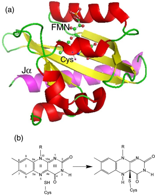 (a) Protein structure of oat phot1-LOV2 (pdb entry 2V1A)26. The whole structure is shown as a ribbon drawing. The helices, turns, and sheets in the LOV-core domain are colored red, green, and yellow, respectively. Jα helix is colored magenta. The FMN and reactive cysteine (Cys450 in the oat phto1-LOV2) are shown as a ball-and-stick drawing. The folding motif of this protein is characteristic of the PAS superfamily. Figure was drawn with PyMOL software59. (b) Photoreaction scheme for the LOV domains.