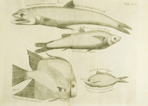 <p>Illustration of four types of fish.</p>